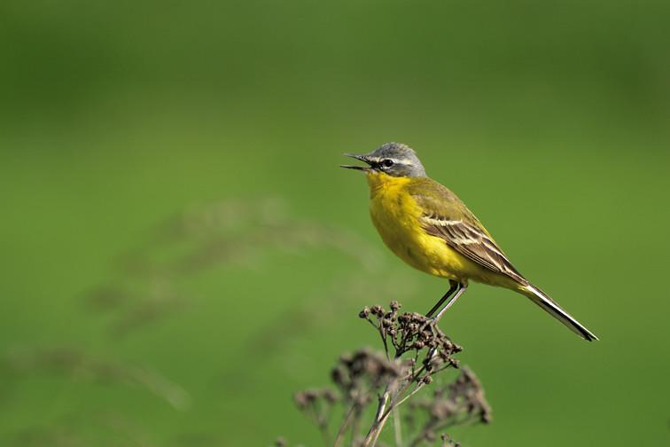 Pliszka żółta - Fotografia Przyrodnicza Piotr Welcz