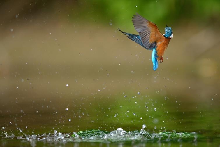Zimorodek - Fotografi Przyrodnicza Piotr Welcz